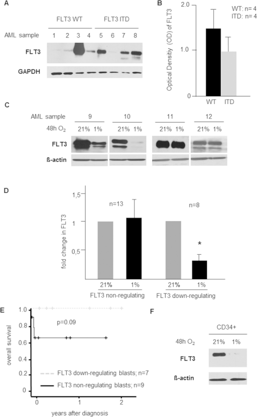 FLT3 expression in AML is regulated by the oxygen partial pressure.(A) Heterogeneous FLT3 basal expression in (n = 8; 4 WT, 4 ITD) AML patient samples was analyzed by western blot using whole cell lysates. (B) Expression of FLT3 was independent from its mutational state (optical density (OD) of FLT3 western blot bands normalized to GAPDH shown in Fig. 1; 4 WT, 4 ITD). (C) Western blot of representative examples (n = 4) of FLT3 down-regulating (sample 9 and 10) and non-regulating AML blasts (sample 11 and 12) after 48 h exposure to 1% O2. (D) Fold change of FLT3 OD normalized to β-actin. In FLT3 down-regulating AML cells (n = 8), down-regulation was 80% (p = 0.01), but in non-regulating cells (n = 13), FLT3 expression was virtually unchanged. (E) Clinical data available for n = 24 patients. Overall survival of patients without (n = 9) and with (n = 7) in vitro hypoxia-mediated FLT3 down-regulation (no detectable FLT3 in n = 8 patients). (F) Western blot analysis of whole cell lysates show down-regulation of FLT3 in healthy CD34+ cells in response to 1% O2.