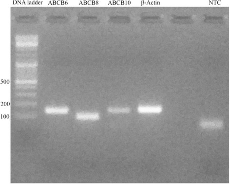 Primer couples tested in traditional PCR. All fragments were approximately 101–157 bp long. The no-template control (NTC) presented a spot due to primer dimerization