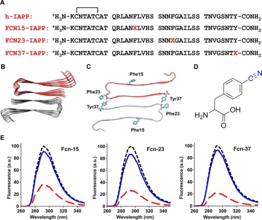 Aromatic residues in the ensemble of toxic h-IAPP oligomers are solvent exposed.(A) Primary sequences of h-IAPP and p-cyano-phenylalanine variants; red X=cyanophenylalanine. (B) A structural model of the h-IAPP amyloid fibril. (C) Location of aromatic residues in h-IAPP which are replaced with p-cyano-phenylalanine in the h-IAPP variants. (D) Structure of the unnatural amino acid p-cyano-phenylalanine. (E) p-Cyano-phenylalanine fluorescence emission spectra reveal that aromatic side chains are solvent exposed in time-zero species (black, ····) and lag phase intermediates (blue, —), but are buried in amyloid fibrils (red, - - - -).DOI:http://dx.doi.org/10.7554/eLife.12977.040
