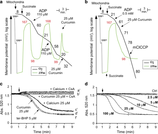 Effect of curcumin on mitochondrial bioenergetics and mitochondrial PTP opening. (a) Trace control. Recordings of ΔΨm (TPP+ electrode measurements; green line) and oxygen consumption (Clark electrode; black line) in purified mouse liver mitochondria. The numbers in black along the trace show nmol O2/min/mg protein and the ΔΨm is reported in mV. TPP+ was added to calibrate the electrode. Measurements were performed in the presence of succinate (1 mM) and rotenone (5 μM) together with a saturating amount of ADP (0.5 mM). The uncoupler, mClCCP (10 μM), was added at the end of the trace to uncouple fully respiration. (b) Effect of 25 μM curcumin on ΔΨm (TPP+ electrode measurements; green line) and oxygen consumption (Clark electrode; black line) in purified mouse liver mitochondria. The experiment was performed in the same conditions as for trace a. (c) Opening of the mitochondrial permeability transition pore in different conditions; comparison between PTP opening with 25 μM calcium, 5 μM ter-butylhydroperoxide or 25 μM curcumin. CsA was used at 5 μM. One representative experiment (n=6) is shown. (d) Opening of the mitochondrial permeability transition pore in response to increasing concentrations of curcumin (from 2.5 to 100 μM).