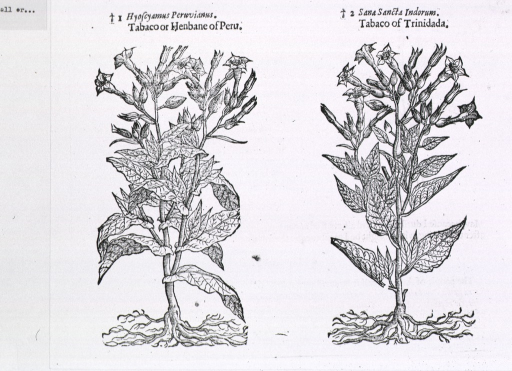<p>Full view of two varieties of tobacco, complete with root systems, leaves, flowers, and woody structure.</p>