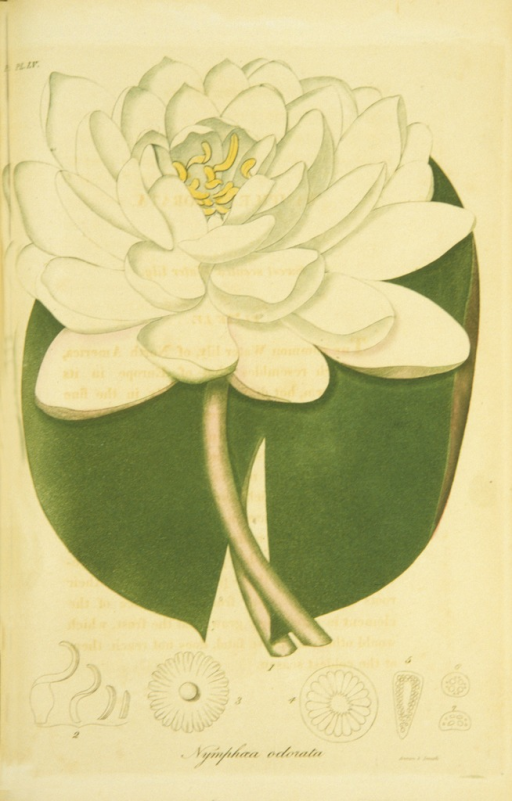 <p>Colored engraving of a flowering water lily.</p>