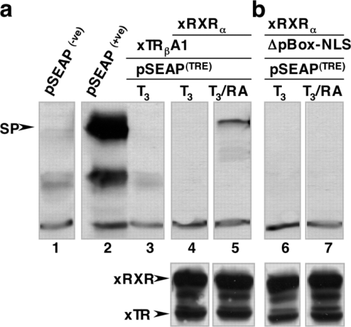 Transcriptional activity of TRβA1 requires xRXRα and both cognate ligands. Transcriptional activity was monitored with the TRE-reporter vector, pSEAP (TRE). (a) Lanes 1 and 2 are negative (pSEAP(−ve)) and positive (pSEAP(+ve)) vector controls. Oocytes expressing TRβA1 or TRβA1 plus xRXRα were incubated with 100 nM T3 (lanes 3–5) plus 100 nM RA (lane 5) for 3 d. Cytosolic extracts from each group of oocytes was prepared and loaded onto a 10% SDS-PAGE at 2.5 oocytes equivalents per lane. SEAP was detected with the polyclonal rabbit anti–human SEAP antibody and an HRP-conjugated secondary antibody. The SP labeled arrow indicates SEAP immunoreactivity, which was present only in oocytes expressing TRβA1 and xRXRα exposed to both T3 and RA. (b) Transcriptional activity of TRβA1 requires the pBOX within the DBD and the NLS. Oocytes expressing xTRβA1ΔpBox-NLS and xRXRα show no SEAP immunoreactivity when incubated with T3 (lane 6) or T3 plus RA (lane 7). Western blot analysis shows that xRXRα, TRβA1, and xTRβA1ΔpBox-NLS are expressed at comparable levels (Western blots below lanes 4–7). TRβA1 and xTRβA1ΔpBox-NLS were detected with the monoclonal mouse anti–human TRs antibody (MA1-215). xRXRα was detected with a polyclonal rabbit anti–human RXR antibody (Sc-774).