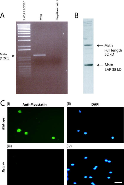 Myostatin is expressed in adult myoblasts derived from satellite cells. (A) Agarose gel electrophoresis of myostatin ORF amplified in a combined RT-PCR reaction using total RNA from adult myoblasts (lane 2). Amplicons are not detected in the absence of template (negative control) (lane 3). 1-kb plus DNA ladder is shown in lane 1. (B) Western analysis from proteins isolated from adult myoblasts cultured for 48 h showing both the full-length (52 kD) and LAP (38 kD) peptides of Myostatin. (C) Representative immunofluorescence showing the presence of Myostatin in wild-type adult myoblasts (i) and absence in myostatin- (Mstn−/−) myoblasts (iii). DAPI staining of the nuclei is shown in the corresponding fields (ii and iv).