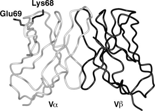 α-carbon trace of the structurally solved 1934.4 Vα domain  (grey) associated with the modeled 1934.4 Vβ domain (black) (4). HV4α  residues K68 and E69 are shown with their side chains in black. The figure was generated using the programs Bobscript and Raster3D (70, 71).