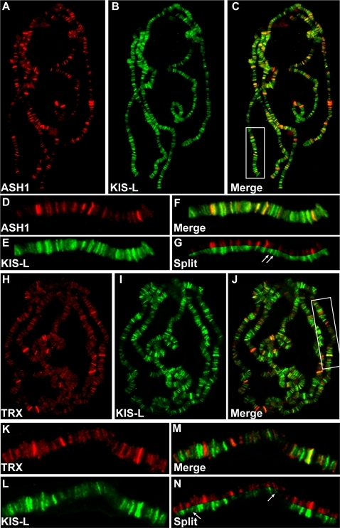 KIS-L co-localizes with the trithorax group proteins ASH1 and TRX on polytene chromosomes.A–C) The distributions of ASH1 (A, red) and KIS-L (B, green) on wild-type polytene chromosomes are shown together with the merged image (C). D–G: Magnification of the chromosome arm bounded by the white rectangle in C is shown. Arrows in G mark examples of KIS-L bands that do not overlap with ASH1. H–J) The distributions of TRX (H, red), KIS-L (I, green) and the merged image (J) are shown. K–N: represent the magnification of the chromosome arm bound by the white rectangle in J. The arrows in N represent bands of KIS-L that do not overlap with TRX.