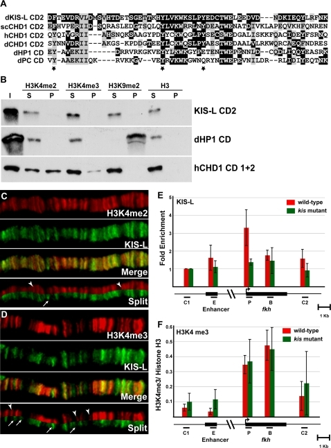 H3K4 methylation is not sufficient for the recruitment of KIS-L to chromatin.A) CD2 of KIS-L is aligned with CD2 of other CHD proteins and the chromodomains of Drosophila HP1 and PC. Identical and conserved amino acids are highlighted in black and grey, respectively. Aromatic amino acids that are important for binding of methylated histone tails by the CD2 of yeast CHD1 are marked by stars. B) The in vitro binding of HIS-tagged CD2 of KIS-L, CD1 and 2 of human CHD1 and the Drosophila HP1 chromodomain to histone H3K4me2, H3K4me3, H3K9me2 and histone H3 peptides were examined. Input (I), unbound protein (S) and the bound proteins (P) were detected by western blotting using anti-HIS tag antibody. Note that the chromodomains of HP1 and human CHD1, but not KIS-L, specifically bound methylated H3K9 and H3K4 peptides, respectively. C–D) The distributions of H3K4me2 (C, red) and H3K4me3 (D, red) were compared to that of KIS-L (C and D, green) on a representative region of wild-type polytene chromosomes. The arrowheads represent H3K4me2 and H3K4me3 bands that do not overlap with KIS-L, respectively, while the arrows represent bands of KIS-L that do not overlap with H3K4me2 and H3K4me3 bands, respectively. E–F) The distributions of KIS-L and H3K4me3 over the fkh gene were determined by ChIP using chromatin isolated from the salivary glands of wild-type (red bars) or kisk13416 (green bars) larvae. A map of the fkh gene is shown below the X axis; black bars represent the primers used to amplify the following regions: C1: region upstream of fkh, E: fkh enhancer, P: fkh transcription start site, B: fkh body, C2: region downstream of fkh. For KIS-L, the percentages of DNA immunoprecipitated for regions E, P, B and C2 were normalized to the percentage of DNA immunoprecipitated for region C1 (E). The ratio of DNA immunoprecipitated with antibodies against H3K4me3 and histone H3 are shown for each region (F). Note that KIS-L is enriched over the transcription start site of fkh while H3K4me3 is enriched over both the transcription start site and the body of fkh gene. The bars represent the average of independent biological experiments (n = 4 for H3K4me3 and n = 5 for KIS-L) with the corresponding standard deviations.