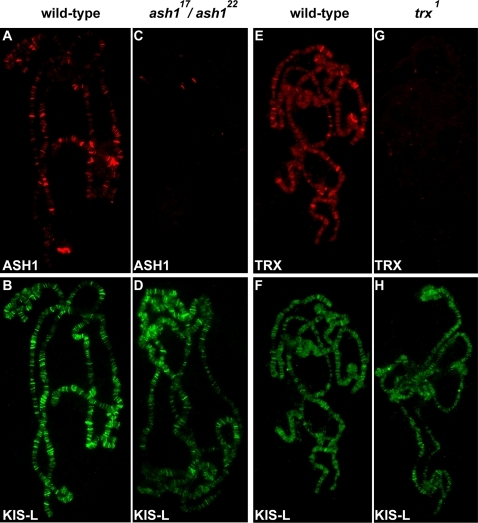 The association of KIS-L with chromatin is not altered in ash1 and trx mutants.A–D) The association of ASH1 (A, C, red) and KIS-L (B, D, green) on salivary gland polytene chromosomes of wild-type (A, B) and ash122/ash117 (C, D) larvae were detected by indirect immunofluorescence microscopy. E–H) The association of TRX (E, G, red) and KIS-L (F, H, green) on polytene chromosomes isolated from wild-type (E, F) and trx1 (G, H) larvae were detected by indirect immunofluorescence microscopy. Neither ASH1 nor TRX is required for the binding of KIS-L to polytene chromosomes.