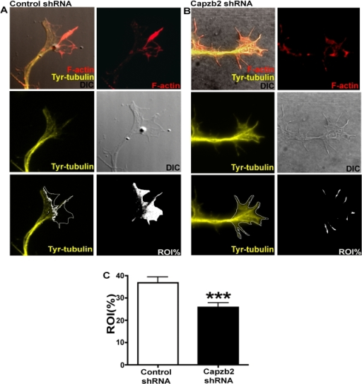Comparison of growth cone area not invaded by microtubules in neurons transfected with either control shRNA/pEGFP or Capzb2 shRNA/pEGFP.(A and B) Visualization of microtubules in the growth cones was obtained with tyrosinated α-tubulin antibody signal (Tyr-tubulin, yellow); F-actin (red) upon CytD treatment. The percentage of growth cone area not invaded by microtubules (ROI%, white area) was obtained upon subtraction of Tyr-tubulin signal from the total growth cone area visualized on DIC image. The image left of the panels labeled ROI% shows the ROI border (white line overlay on Tyr-tubulin signal image) composed of the line indicating microtubule most distal position (based on Tyr-tubulin signal) and the outline of the growth cone (based on DIC image). (C) The average ROI% was significantly lower in neurons transfected with Capzb2 shRNA (n = 63, blinded analysis from three experiments) in comparison to controls (n = 85, blinded analysis from three experiments). Mean values ±s.e.m. are depicted; *** = p<0.001.