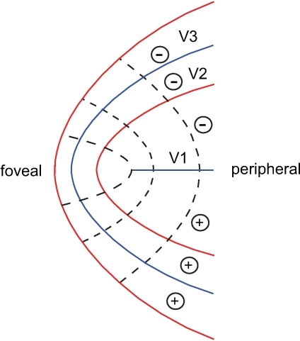Canonical layout of the foveal confluence.This layout is derived from data [3]. Dotted lines depict isoeccentricity contours, red lines - vertical meridian and blue lines horizontal meridian representations. Empirical data suggest that V2 and V3 do not come to a point but form bands surrounding the foveal tip of V1. Plus and minus signs signify representations of the upper and lower visual field.