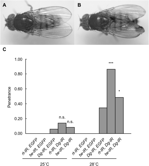 Genetic interaction between rt or tw and Dg in the wing.(A) Normal wing shape in wild-type flies. (B) Blistered phenotype in the wings of knockdown flies. (C) Penetrances of the blistered phenotype in knockdown flies. At least 30 individuals were observed in each knockdown group. At 28°C, the penetrances of the blistered phenotype with the double knockdowns rt-Dg and tw-Dg were significantly higher than those with single knockdown. *p<0.05; ***p<0.001 by Fisher's exact test. n.s., not significant.