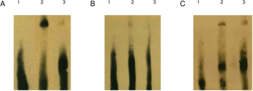 EMSA analysis.Nuclear extracts from SH-SY5Y cells were stably transfected with (A & C) pcDNA3.1+MTF-1 or (B) pcDNA3.1+. A & B are probed with normal probe and C with mutant probe. Lane 1 is the migration of free-probe in the absence of nuclear extract and therefore no shift observed. Lane 2 is either the MRE-containing double-stranded DNA probe (A & C) and shows a signal shift due to transcription factor binding or the mutant MRE-containing probe (B) and shows a diminished signal shift. Lane 3 shows that the signal shift can be inhibited from excess non-labelled probe.