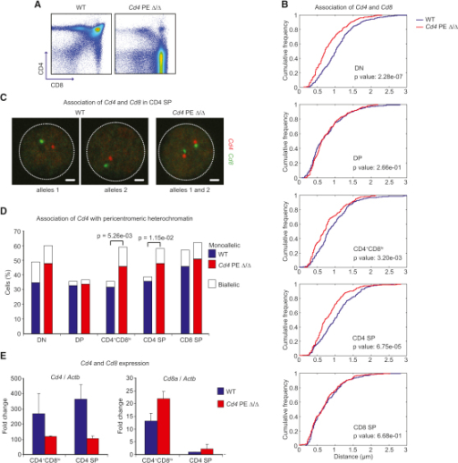 The Cd4 Proximal Enhancer Inhibits Cd4-Cd8 Association(A) Flow cytometry analysis of wild-type and Cd4 PE-deficient thymocytes (Cd4 PE Δ/Δ).(B) Cd4-Cd8 association in wild-type and Cd4 PE-deficient cells, including statistical analysis. Association is higher in Cd4 PE-deficient DN, CD4+CD8lo, and CD4 SP cells than in wild-type cells. n = 196–286 alleles.(C) Confocal microscopy sections of Cd4-Cd8 distances representative of each genotype. Scale bars represent 1 μm.(D) Recruitment of Cd4 to pericentromeric heterochromatin in wild-type and Cd4 PE-deficient cells. Recruitment is higher in Cd4 PE-deficient DN, CD4+CD8lo and CD4 SP than in wild-type cells.(E) RT-PCR analysis of Cd4 or Cd8a expression in wild-type and Cd4 PE-deficient cells. Standard error bars were calculated from three independent experiments.See also Figure S5 and Table S4.