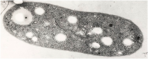 "Transmission electron micrograph of a cell of A. vinosum strain 9011 (Photo kindly provided by Hans G. Trüper, Bonn). Magnification × 59,050. As a result of the preparation for electron microscopy, the localization of sulfur globules is visible as ""holes"" in the electron micrograph."