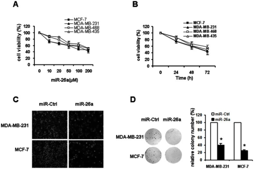Overexpression of miR-26a lead to reduced cell viability and decreased clonogenicity.A. Dose effect. Cells were transfected with miR-26a at the indicated concentrations for 48 hours. B. Time effect. Cells were transfected with 50 µM of miR-26a for indicated periods. C. Morphologic changes of MDA-MB-231 and MCF-7 cells in response to miR-26a inhibition. D. Influence of miR-26a on colony formation of MDA-MB-231 and MCF-7 cells. Representative dishes are presented (left). The number of colony was counted for each well of six-well plates and the evaluation of colony numbers was shown in the y-axis of the right panel. *P<0.05 compared with control.