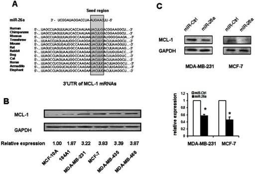 MCL-1 is the target of miR-26a.A. Putative miR-26a binding sites in the 3′UTR region of MCL-1 and interspecies conservation of seed matching sequences (gray box). B. Expression of MCL-1 in the 2 immortalized normal mammary epithelium cell lines and 4 breast cancer cell lines. C. Western blot assay for MCL-1 expression after MDA-MB-231 and MCF-7 cells were transfected with miR-26a for 48 hours. *P<0.05 compared with control.