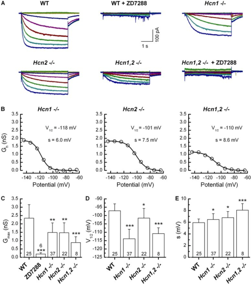 Biophysical characterization of Ih in neonatal (P1–4) WT and Hcn-deficient SGNs. (A) Family of representative Ih from WT, WT + 100 µM ZD7288, Hcn1−/−, Hcn2−/−, and Hcn1,2−/− SGNs as indicated. Currents were evoked using the same voltage-clamp protocol shown in Fig. 2. Residual currents in Hcn1,2−/− SGNs were blocked by 100 µM ZD7288. (B) Representative Gh activation curves for Hcn1−/−, Hcn2−/−, and Hcn1,2−/− SGNs fitted with Boltzmann equations. V1/2 and s are indicated on the graphs. (C) Summary of mean maximal Gh. (D) Summary of mean half-activation voltage. (E) Mean slope factor. Number of samples and genotype are indicated below. Error bars equal +1 SD. *, P < 0.05; **, P < 0.01; ***, P < 0.001.