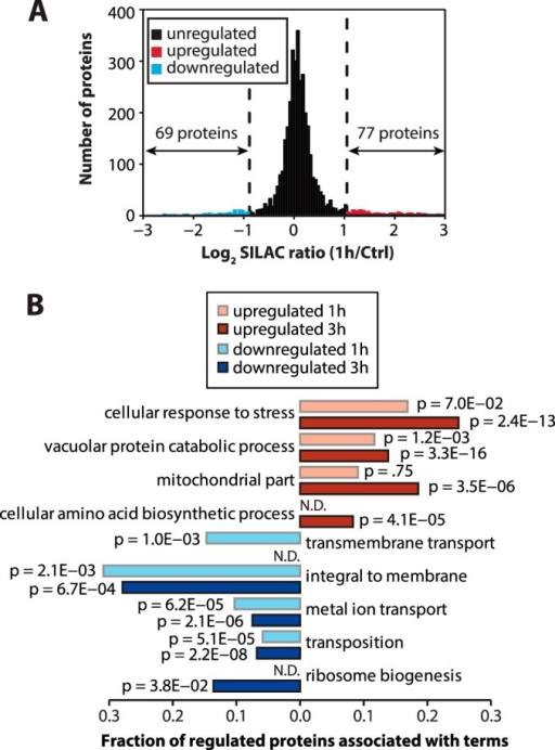 The rapamycin-regulated proteome.A, identification of significantly regulated proteins. The column chart shows the distribution of SILAC ratios comparing rapamycin-treated cells (1 h) to control cells. A cutoff for significantly up- or down-regulated proteins was determined using two standard deviations from the median of the distribution. Proteins that were significantly up- or down-regulated are marked in red and blue, respectively. B, functional annotation of the rapamycin-regulated proteome. The bar chart shows the fraction of regulated proteins that were associated with GO terms that were significantly overrepresented among the down-regulated (blue) or up-regulated (red) proteins. Significance (p) was calculated with hypergeometric test.