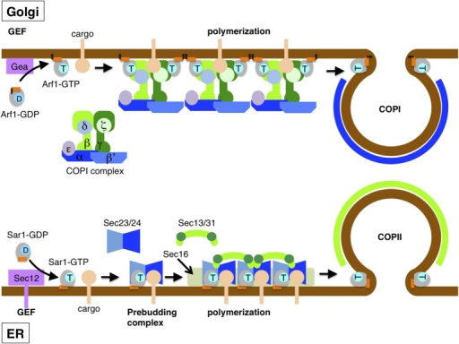 Assembly of COPII and COPI coats drives vesicle formati ...