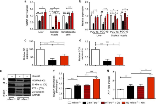 Glucose supplementation rescues mitochondrial mass and increases oxygen consumption and ATP levels in G3 mTerc−/− mice.12–15 month old G3 mTerc−/− mice with weight loss on normal ad libitum diet and age-matched mTerc+/+ mice were analyzed under continuous exposure to normal ad libitum diet or 2 weeks after switching to a glucose enriched diet (+Glc): (a–d,g,f) Histograms showing (a) the mitochondrial DNA (mtDNA) copy number in the indicated tissues, (b) the expression of PGC-1α and PGC-1β in the indicated tissues, (c) hepatic citrate synthase (CS) expression, (d) hepatic cytochrome c oxidase levels (COX), (f) oxygen consumption of freshly isolated haemtopoietic cells (Lin-negative), and (g) ATP-levels of freshly isolated haemtopoietic cells (Lin-negative). Data in all histograms are shown as relative expression levels/numbers with data for mTerc+/+ mice on normal ad libitum diet being set to 1. (a-d,g) n=4–6 mice per group, (f) n=9–17 mice per group. (e) Representative western blot analysis of OXPHOS enzymes ((NDUFA (CI), 30 kDa su (CII), ATPα (CV), Core 2 (CIII)) in liver homogenates. All statistical data were assessed using Student's t-test and are presented as mean±s.e.m. *P<0.05, **P<0.01, ***P<0.001.