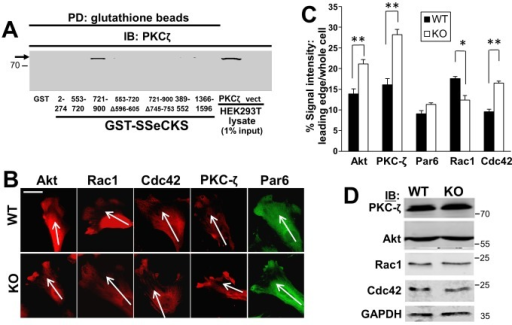 SSeCKS controls the localization of signaling mediators that regulate leading edge protrusion formation.A, SSeCKS scaffolds PKCζ. PKCζ IB analysis of HEK293T cell lysates transfected with PKCζ-GFP or pEGFP (vect) after pull down using GST- or GST-SSeCKS-beads. Aliquots of lysates (5 µg, representing 1% input) are shown on the right. Note that PKCζ (arrow) binds one of the two PKC-binding domains identified previously [29], and that deletion of the minimal binding domain (a.a.- 745–753) abrogates this binding. B, Chemotactic WT or KO MEF were stained by IFA for Akt, Rac1, Cdc42, PKC-ζ or Par6, and the leading edge staining was quantified in Panel C as in Fig. 4C. *, p<0.05, **, p<0.01. Scale bar, 10 µm. D, IB analysis for the proteins stained in panel A, plus GAPDH controls. MWt markers are shown at right.