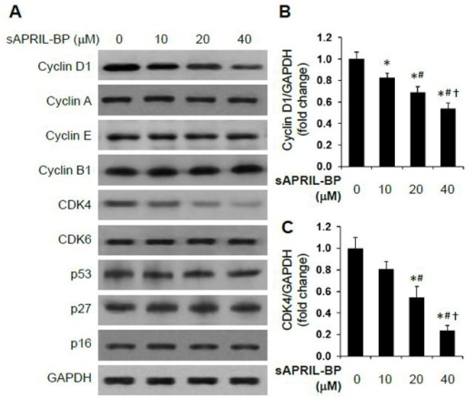 Effect of sAPRIL-BP on the expression of cell cycle-related proteins.LOVO cells were treated with the indicated doses of sAPRIL-BP for 48 h. (A) The expression levels of the indicated cell cycle proteins were assessed by Western Blotting analysis. GAPDH was used as the internal control. The protein size of Cyclin D1 is 34 kDa, Cyclin A 49 kDa, Cyclin E 50 kDa, Cyclin B1 55 kDa, CDK4 34 kDa, CDK6 37 kDa, p53 53 kDa, p27 27 kDa, p16 40 kDa, and GAPDH 36 kDa. The optical densities of the cyclin D1 (B) and CDK4 (C) protein bands were analyzed and normalized to the internal control as fold change. *P<0.05 compared to Vehicle group; #P<0.05 compared to 10 μM group, †P<0.05 compared to 20 μM group.