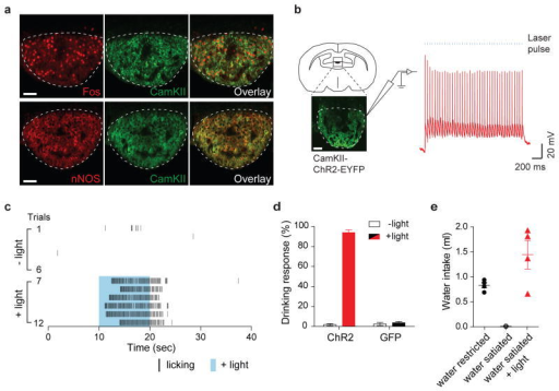 Activation of excitatory neurons in the subfornical organs (SFO) triggers immediate drinking behavior(a) Water-deprivation activates CamKII/nNOS-positive neurons in the SFO. Robust Fos expression was induced in the SFO after water restriction for 48-hr. Shown are double immunolabeling for Fos and CamKII. Most Fos positive neurons co-expressed CamKII (95.9 ± 0.3%, n=3); also shown is the co-expression of CamKII with nNOS. These neurons are excitatory as they are marked by a VGlut2 trasgenic reporter 24 (Extatended Data Fig 2). (b) Whole-cell patch-clamp recording from SFO CamKII-positive neurons in acute hypothalamic slices demonstrating light-induced activation of the ChR2-expressing neurons. Shown are traces of a representative neuron subjected to 40 pulses of ChR2 excitation (20 Hz; 2 ms pulses); blue bars denote the time and duration of the light stimulus. Scale bars, 50 μm. (c) Photostimulation of CamKII-positive neurons in the SFO (trials 7–12; blue shading) triggered intense drinking; each black bar indicates an individual licking event. In the absence of light stimulation the same water-satiated animal exhibits very sparse events of drinking (trials 1–6). (d) Success of inducing drinking by photostimulation of the SFO. The Drinking Response (%) was calculated by determining the number of trials with >5 licks over the total number of trials; animals were tested for >10 trials each (see Methods for details). The panel shows animals infected with AAV-CamKIIa-ChR2-EYFP (n=10; red bar), and control mice infected with AAV-CamKIIa-GFP (n=4; black bar); white bars indicate the responses in the absence of photostimulation (Mann-Whitney test P < 0.0003). (e) Quantitation of the volume of water consumed within 15 min by 3 groups of animals: water-restricted for 48-hr, water-satiated, and water-satiated but photostimulated during the test; light (20 Hz) was delivered with a regime of 30 s ON and 30 s OFF for the entire 15 min session (n=4, Mann-Whitney test, P < 0.03 for water-satiated ± light). Values are means ± s.e.m.