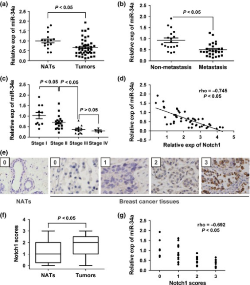 MicroRNA-34a (MiR-34a) expression is downregulated in breast cancer tissues and negatively correlated with tumor stage, metastasis, and expression of Notch1. (a) MiR-34a expression (exp) in 45 cases of human breast cancer and 16 normal adjacent tissues (NATs) (P < 0.05). (b) MiR-34a expression is associated with lymph node metastasis of breast cancer (P < 0.05). (c) MiR-34a expression in different clinical stages of breast cancer patients. Statistical analyses were carried out using Student's t-test (a–c). (d) Inverse correlation between miR-34a and Notch1 mRNA expression in breast cancer tissues (n = 45) by Spearman's correlation analysis. (e) Representative immunohistochemical analyses of Notch1 in normal breast tissue and breast cancer tissue with different Notch1 scores (×100). (f) Immunohistochemistry scores of Notch1 in NATs and breast cancer tissues. (g) MiR-34a expression negatively correlated with Notch1 scores in breast cancer tissues. (Spearman's correlation analysis, r = −0.692; P < 0.05).