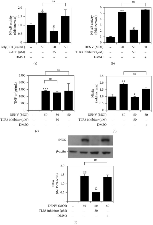 DENV infection induces TLR3-regulated NO and iNOS expression, but not TNF-α expression, following NF-κB activation. (a) In the absence and presence of CAPE, an NF-κB reporter assay was performed to measure NF-κB activation in Poly(I:C)-treated RAW264.7 cells. NF-κB reporter assay (b), ELISA (c), Griess reagent (d), and western blot analysis (e) quantified the activation of NF-κB and the expression of TNF-α and iNOS/NO in DENV 2-infected RAW264.7 cells pretreated with TLR3 inhibitor. ∗P < 0.05, ∗∗P < 0.01, and ∗∗∗P < 0.001, compared with untreated cells. #P < 0.05, compared with Poly(I:C) or DENV. ns: not significant. For western blot results, one set of representative data obtained from three independent experiments is shown. The relative ratio to β-actin based on densitometer quantification and analysis using ImageJ software is shown. For all experiments, the quantitative data shown represent the mean ± SD values of three independent experiments.