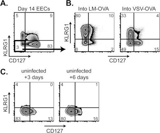With time, EECs lose their ability to generate MPEC and SLEC in the absence of exogenous inflammatory stimuli.A. 14 days following VSV-OVA infection, EECs were purified as in Fig. 2A and transferred into day 2 LM-OVA- or VSV-OVA-infected recipients. 6 days following EEC transfer, CD8 CD45.1+ EECs were analyzed for KLRG1 and CD127 expression. Each condition was repeated at least 2 times. B. Day 14 purified EECs from VSV-OVA infection were transferred into uninfected recipients, and CD8 CD45.1+ EECs in the spleen were analyzed for KLRG1 and CD127 expression 3 or 6 days following transfer. Each condition was repeated at least 2 times.