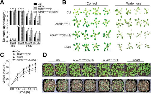 Genetic interaction between ABAR/CHLH and OST1/SnRK2.6/SRK2E: ABAR over-expression does not significantly affect ABA-insensitive phenotypes of the srk2e mutant in stomatal movement. (A) ABA-induced stomatal closure (top) and inhibition of stomatal opening (bottom) in wild-type Col, srk2e sigle mutant, ABAR631–1381 over-expression line under Col backgroud (ABAR631–1381OE), and ABAR631–1381 over-expression line under srk2e backgroud (ABAR631–1381OE/srk2e). ABAR631–1381 is a truncated form of ABAR (aa 631–1381). Values are means ±SE from three independent experiments, and different letters indicate significant differences at P<0.05 (Duncan's multiple range test) when comparing values within the same ABA concentration. n≥60 apertures per experiment. (B) Status of the detached leaves of the Col, srk2e, ABAR631–1381OE, and ABAR631–1381OE/srk2e, which were subjected to a 6-h period water loss assay. (C) Water loss rates during a 6-h period from the detached leaves of the different genotypes described in (B). Values are means ±SE from three independent experiments. *P<0.05 (Duncan's multiple range test) when comparing values within the same time point. (D) Water loss assays with young seedlings for the Col, srk2e, ABAR631–-1381OE, and ABAR631–1381OE/srk2e. Plants were well watered for 5 d then drought-stressed by withholding water for 17 d (bottom). Top panel shows the well watered control plants. The entire experiment was replicated three times with similar results.