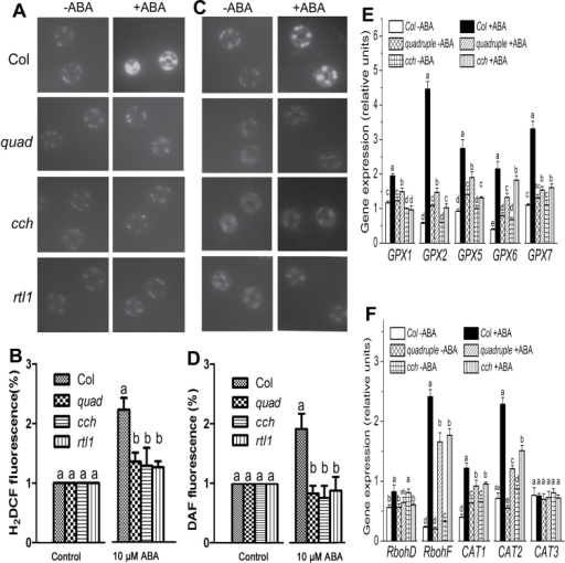ABA-induced ROS and NO production and changes in the expression of some ROS-metabolism genes in guard cells of different genotypes. ROS production in response to ABA [10 μM (±)ABA, 20min treatment] was examined by H2DCF-DA imaging (A) and also the relative H2DCF fluorescence levels were recorded (B). NO production in response to ABA [10 μM (±)ABA, 20min treatment] was examined by diaminofluorescein (DAF) fluorescence imaging (C) and also the relative DAF fluorescence levels were recorded (D). The experiment was replicated three times with the similar results. The relative fluorescence levels are normalized relative to the control (−ABA) taken as 1. (E) and (F) show ABA-induced changes in the expression of some ROS-metabolism genes in guard cells of different genotypes. Two-week-old seedlings, sprayed with 50 μM (±)ABA or ABA-free solution (as a control), were sampled for RNA extraction 2.5h after the ABA application. The expression of the related genes was assayed by real-time PCR. Values in B, D, E, and F are means ±SE from three independent experiments, and different letters indicate significant differences at P<0.05 (Duncan's multiple range test) when comparing values within the same ABA treatment.