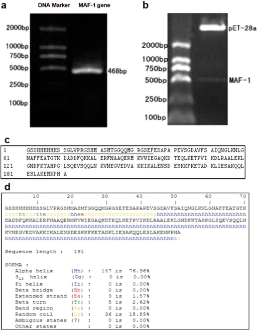 Constructed MAF-1 gene expression vector and analyzed the fusion protein.(a) The result of PCR for MAF-1. (Lane 1, DL2000 DNA Marker. Lane 2, MAF-1 gene). (b) Electrophoresis of digesting recombinant plasmid pET-28a(+)-MAF-1. (Lane 1, DL2000 DNA Marker. Lane 2, EcoRI and Hind III digestion of recombinant plasmid pET-28a(+)-MAF-1). (c) The amino acids sequence of MAF-1 fusion protein. (___, The insert amino acid sequence). d:The secondary structure prediction for MAF-1 fusion protein.