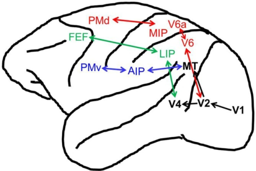 Reach, grasp, and oculomotor control brain regions in the macaque. Shown are the cortical brain regions associated with the reach (in red), grasp (in blue), oculomotor (in green), and visual (in black) systems. Not pictured are anatomical cross-talk connections between the reaching and grasping networks (i.e., between V6A and anterior intraparietal (AIP)/Ventral premotor cortex (PMv), see Fattori et al., 2015).