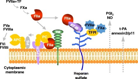 Schematic representation of endothelial functions in physiological states. FVIIa, activated factor VII; FVi, inactivated factor V; TF, tissue factor; AT-III, antithrombin-III; TFPI, tissue factor pathway inhibitor; PC, protein C; APC, activated protein C; PS, protein S; TM, thrombomodulin; EPCR, endothelial protein C receptor; NO, nitrate oxide; PGI2, prostaglandin I2.