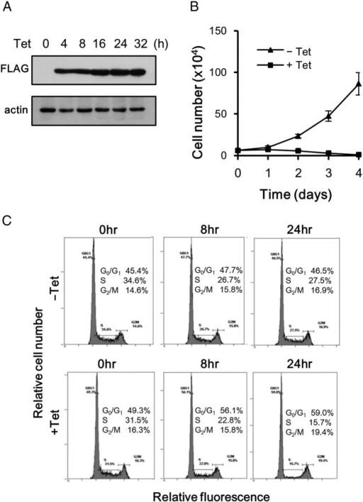 Effects of ASPL-TFE3 on cell proliferation and cell cycle progression. (A) 293/TR-AT cells were cultured in the presence of tetracycline for the indicated times and were then subjected to immunoblot analyses using the indicated antibodies. The expression levels of ASPL-TFE3 were examined using immunoblotting with anti-FLAG antibody. (B) 293/TR-AT cells were cultured in the presence or absence of tetracycline (+ or − Tet) for the indicated times and the cell numbers were determined. Experiments were performed twice with triplicate determinations for each time point. Data are presented as mean ± standard deviation (SD). (C) Cell cycle distributions of 293/TR-AT cells were analyzed using FACS. 293/TR-AT cells were cultured in the presence or absence of tetracycline (+ or − Tet) for the indicated times and were then stained with PI for FACS analyses.
