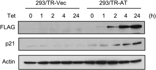 Induction of p21 expression by ASPL-TFE3. 293/TR-Vec and 293/TR-AT cells were cultured in the presence of tetracycline for the indicated times and subjected to immunoblotting analysis using anti-FLAG, anti-p21, and anti-actin antibodies.