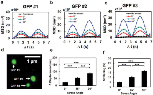 "The extent of chromatin stretching depends on stress directionsMean Squared Displacement (MSD) of individual GFP spots #1 (a), #2 (b), and #3 (c) in a representative cell (the same cell as in Fig. 1e), when the stress (15 Pa at 0.3 Hz) was applied at 0º, 45º, or 90º. The black dashed lines in a, b, and c were the no stress control. It is apparent that the MSD was largest when the stress was applied along the transverse direction relative to the long axis of the cell. Data from 7 cycles of displacements are averaged in MSD curves. (d) The fluorescent image of the three GFP spots in the same chromatin of the cell. (e, f) Chromatin stretching (both peak stretching amplitude in (e) and % stretching in (f)) depends on stress angles. The increase of distance between any two GFP spots (Δ Distance) as a function of the stress angle at a constant peak stress (15 Pa at 0.3 Hz) represents the extent of chromatin stretching. Note that % stretching represents ""an apparent stretching of the chromatin"", i.e., the distance between two spots on the chromatin is increased; it does not suggest that the chromatin molecule itself is stretched or elongated. The peak compressing amplitude and % compressing were similar to those of stretching. Mean ± s.e.m; n=90 GFP spots from 30 cells of 21 separate experiments; *** P<0.001."
