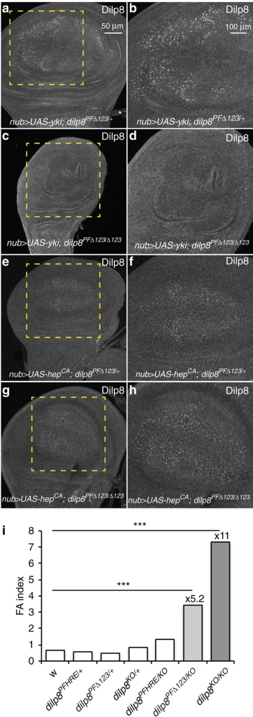Yki-dependent regulation of Dilp8 adjusts organ growth and limits developmental instability.(a,c,e,g) JNK-dependent regulation of dilp8 expression is not affected in dilp8-PFΔ123 mutants. (b,d,f,h) represent higher magnification images of the area shown in the dashed lines. Wing discs were dissected from the indicated genotypes and stained for Dilp8. (i) Mutation of the three Sd-binding sites in the dilp8 promoter by gene editing induces FA. Bar histograms shows FA indices (FAi) of left and right wing areas measured on individuals of the indicated genotypes. ***P<0.0001, F-test for unequal distributions.