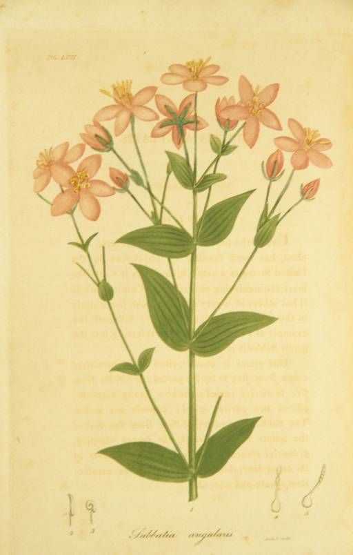 <p>Colored engraving of a flowering bitter plant.</p>