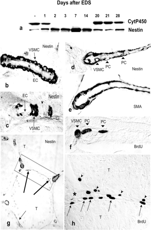EDS exposure induces testicular nestin expression, localized to VSMCs and PCs. (a) Immunoblots demonstrate increased nestin expression during the period of Leydig cell (see levels of CytP450) depletion. (b–d) Immunohistochemical analyses show that nestin is localized to vascular smooth muscle cells (VSMC) and pericytes (PC) (d), but not to endothelial cells (EC; see b and c, with longitudinal orientation) of testicular blood vessels. (e) VSMCs and PCs are stained for smooth muscle α-actin (SMA). (f–h) At d 2 after EDS, VSMCs and PCs proliferate as indicated by nuclear incorporation of BrdU (f and h). The testicular distribution of nestin immunoreactivity at that time, localized to large intertubular as well as to peritubular (arrows) vessels, is shown in g. Higher magnification of an area corresponding to the box marked in g demonstrates proliferating (BrdU labeled) cells of the peritubular microvasculature (h, arrows). Note that some spermatogonia (arrowheads) are also detectable. The lumen of a blood vessel filled with erythrocytes is marked by an asterisk. T, seminiferous tubules.