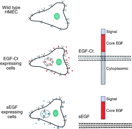 Cell types used in this study. WT HMECs express EGFR endogenously, but lack the expression of EGF. EGF-Ct cells express the EGF-Ct construct. EGF-Ct lacks the NH2-terminal extracellular domain of the human EGF precursor. The sEGF construct is simply the 53 amino acid long mature EGF without the NH2-terminal, COOH-terminal, or the transmembrane domain of EGF precursor; it binds to the EGFR during receptor transport to the cell surface (Wiley et al., 1998).