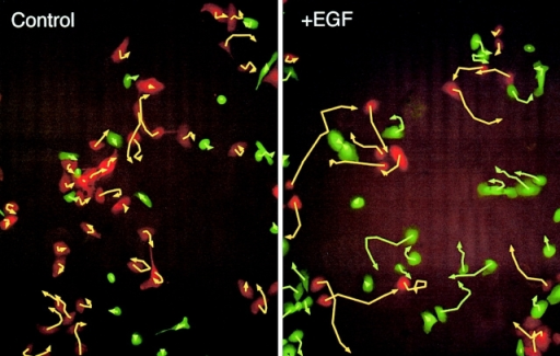 EGF released from autocrine cells does not stimulate migration of neighboring cells. WT HMECs were labeled with CellTracker green and cells expressing EGF-Ct were labeled with CellTracker orange. Cells were mixed overnight and followed for 4 h by two color fluorescence time-lapse microscopy using 4 min intervals. Shown are the initial images overlaid with trajectories marked at 40-min intervals. Left, cells in the absence of exogenous EGF. Right, cells in the presence of 2 nM exogenous EGF.
