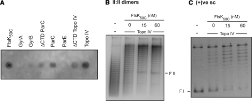 FtsK50C stimulates both Topo IV-catalyzed decatenation and (+)ve scDNA relaxation. (A) FtsK50C interacts with Topo IV. Two and one half pmol of FtsK50C protein and 180 pmol of the indicated proteins were spotted on a nitrocellulose membrane. Immunoblotting was then performed as in Espeli et al. (14). FtsK50C was visualized by ECL western analysis using an anti-FLAG–HRP conjugate antibody. (B and C) Reaction mixtures containing either no Topo IV or 0.05 nM Topo IV, the indicated amounts of FtsK50C, and either form II : form II DNA dimers (B) or (+)ve scDNA (C) were incubated and analyzed as described under 'Experimental Procedures' section. Addition of either 15 or 60 nM of FtsK50C stimulated decatenation by 2.2-fold (B) and relaxation of (+)ve scDNA by 3- and 3.3-fold, respectively (C). F I, form I DNA; F II, form II DNA.