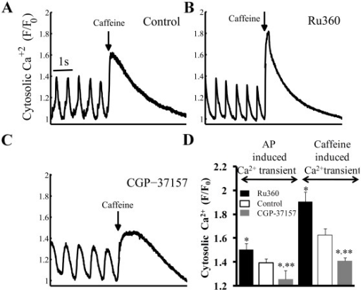 "SR load estimation from rapid caffeine application.Effects of a rapid application (""spritz"") of caffeine (indicated by the arrow) onto SANC (A) in control, or (B) in the presence of Ru360 or (C) CGP-37157. (D) Average effects of Ru360 or CGP-37157 on peak AP-induced cytosolic Ca2+ prior to a caffeine spritz (left), and the subsequent caffeine-induced cytosolic Ca2+ transient (right) (n = 12, for each group). (The caffeine response can be usually measured only once in a given SANC, because following caffeine application a prolonged period is required for AP firing rate to return to the control AP firing rate. Therefore, the effects of caffeine before (i.e. control) and following application of drugs that affect Ca2+m flux were measured in different cells)."