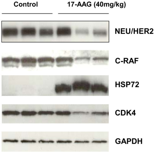 Effect of 17-AAG on HSP90 biomarkers in MMTV-NEU-NT tumours : Western blots are shown for NEU/HER2, C-RAF, heat shock protein HSP72 and CDK4 expression in MMTV-NEU-NT tumours following treatment in mice with vehicle control (lanes 1-3), and 17-AAG, 40mg/kg, days 1-3 (lanes 4-6). Tumours were excised 24 hours after the last dose. GAPDH was used as a loading control.