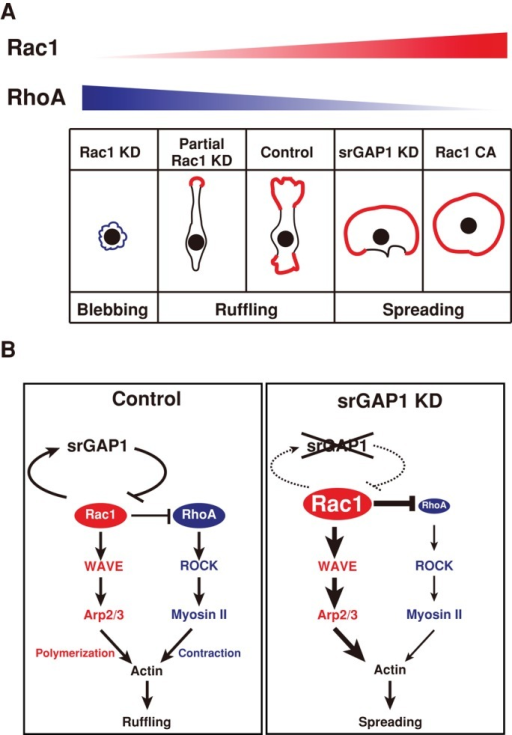 Summary. (A) The level of Rac1 activity controls the membrane protrusions. (B) Limitation of Rac1 activity by srGAP1 allows concomitant activation of Rac1 and RhoA at the membrane protrusions.