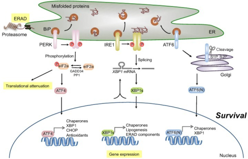 Survival signaling under endoplasmic reticulum (ER) stress conditions. The accumulation of misfolded proteins activates three ER stress sensors: activating transcription factor-6 (ATF6), inositol-requiring transmembrane kinase/endoribonuclease 1 (IRE1), and double-stranded RNA-dependent protein kinase (PKR)-like eukaryotic initiation factor 2α (eIF2α) kinase (PERK). ATF6 is activated following cleavage with S1P and S2P, after transport to the Golgi. Activated ATF6 (ATF6(N)) functions as a transcription factor and induces the expression of ER chaperones and XBP1. Activated IRE1 induces the splicing of XBP1 messenger RNA (mRNA), and the resulting spliced XBP1 protein (XBP1s) translocates to the nucleus and controls the transcription of ER-resident chaperones and genes involved in lipogenesis and ER-associated degradation (ERAD). The activated PERK subsequently blocks general protein synthesis by phosphorylation of eIF2α, which enables the translation of eIF2α-activating transcription factor-4 (ATF4). ATF4 then translocates to the nucleus and induces the transcription of many genes required for ER quality control.