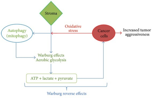 the warburg effect is the seventh hallmark of cancer More recently, it has been recognized that the 'warburg effect' encompasses a similarly increased utilization of glutamine from the intermediate molecules provided by enhanced glycolysis and glutaminolysis, cancer cells synthesize most of the macromolecules required for the duplication of their biomass and genome.
