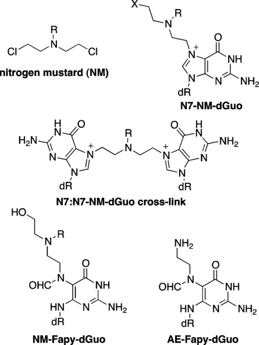 general structure of a nitrogen mustardnm and some of theirdguo adducts